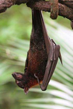 Bats are harmless to humans but they have been known to carry rabies and to bite if handled